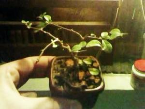 minha primeira plantinha